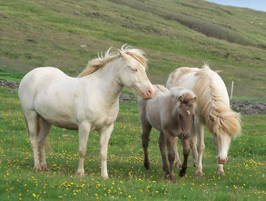 cream colored icelandic horses. Black Bedroom Furniture Sets. Home Design Ideas
