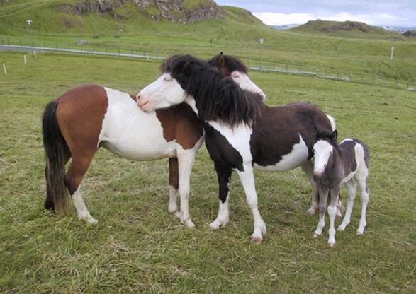 Splashed White Icelandic Horses  Splashed White Horse